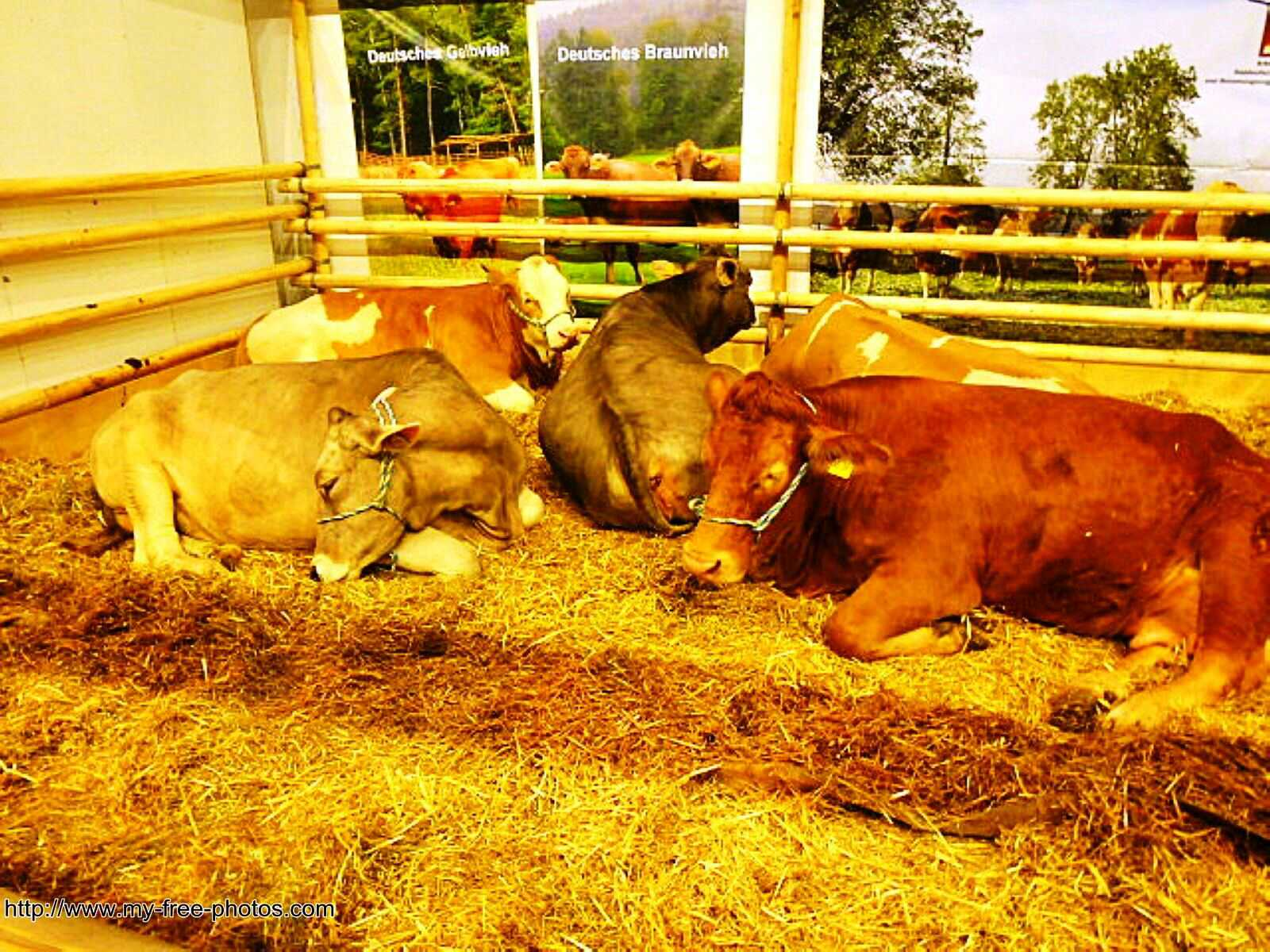 cows,group
