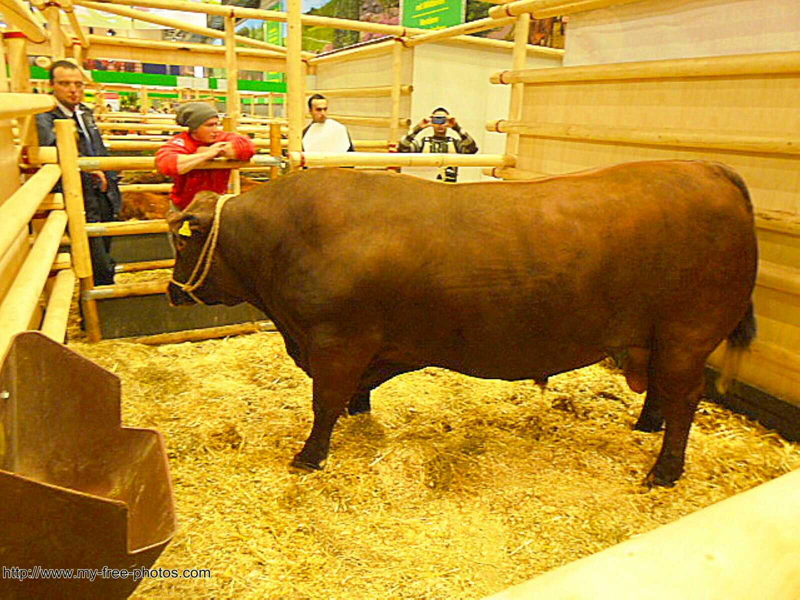 German Angus