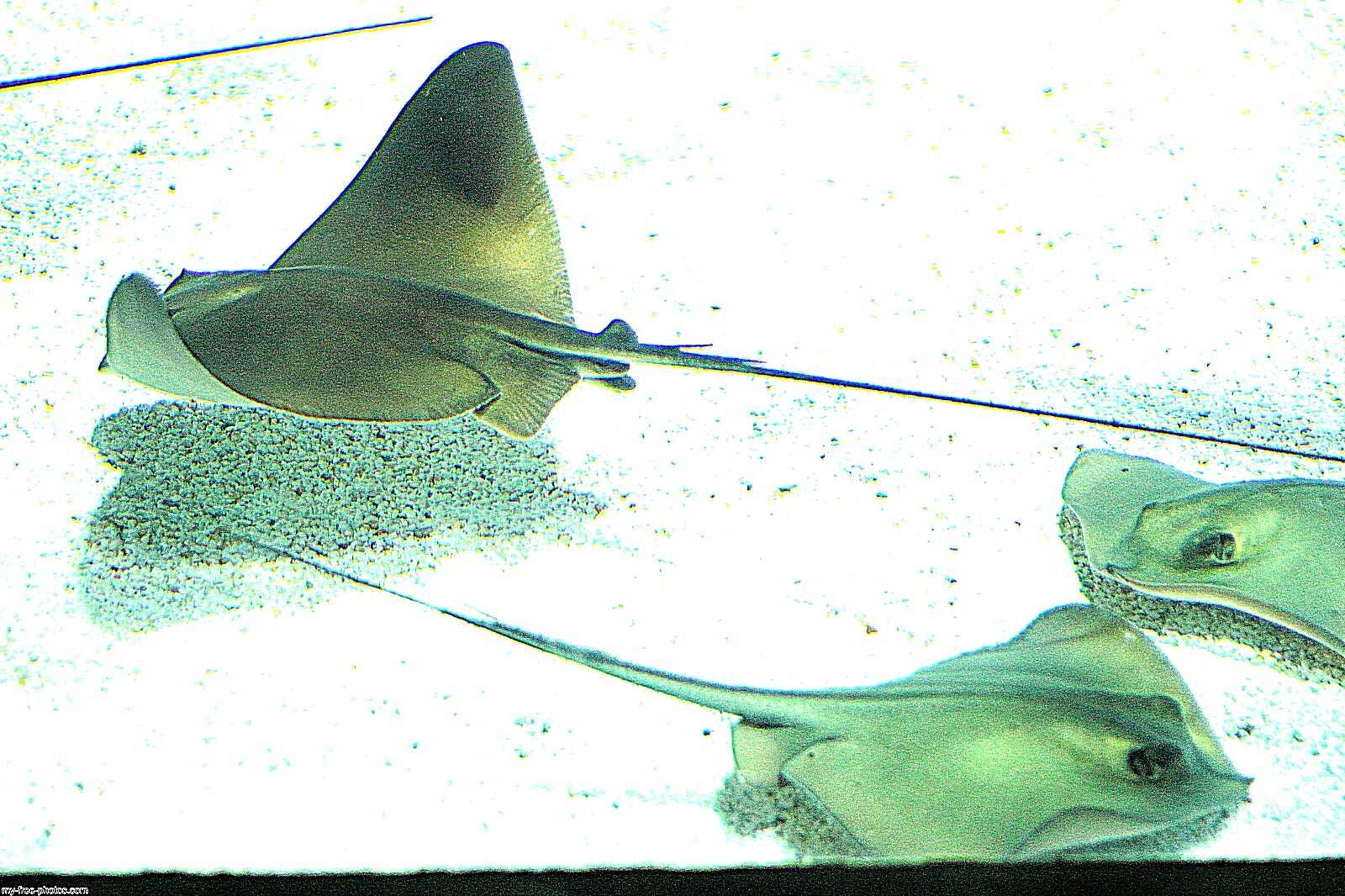 School of Stingrays