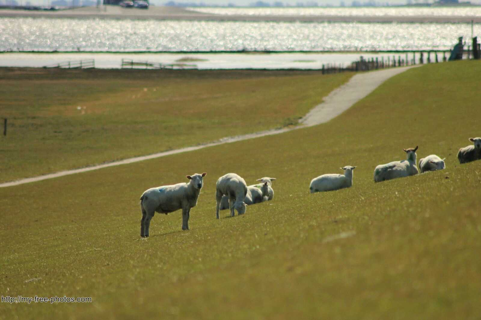 sheep on dyke