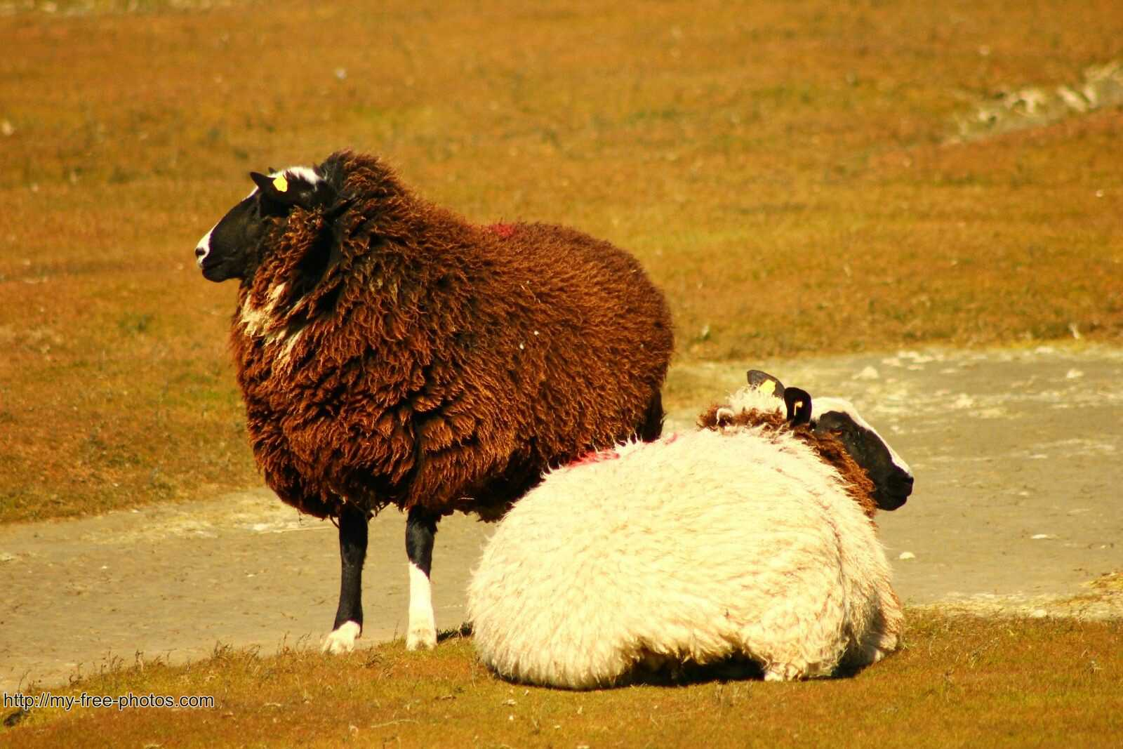 2 multicolor sheep