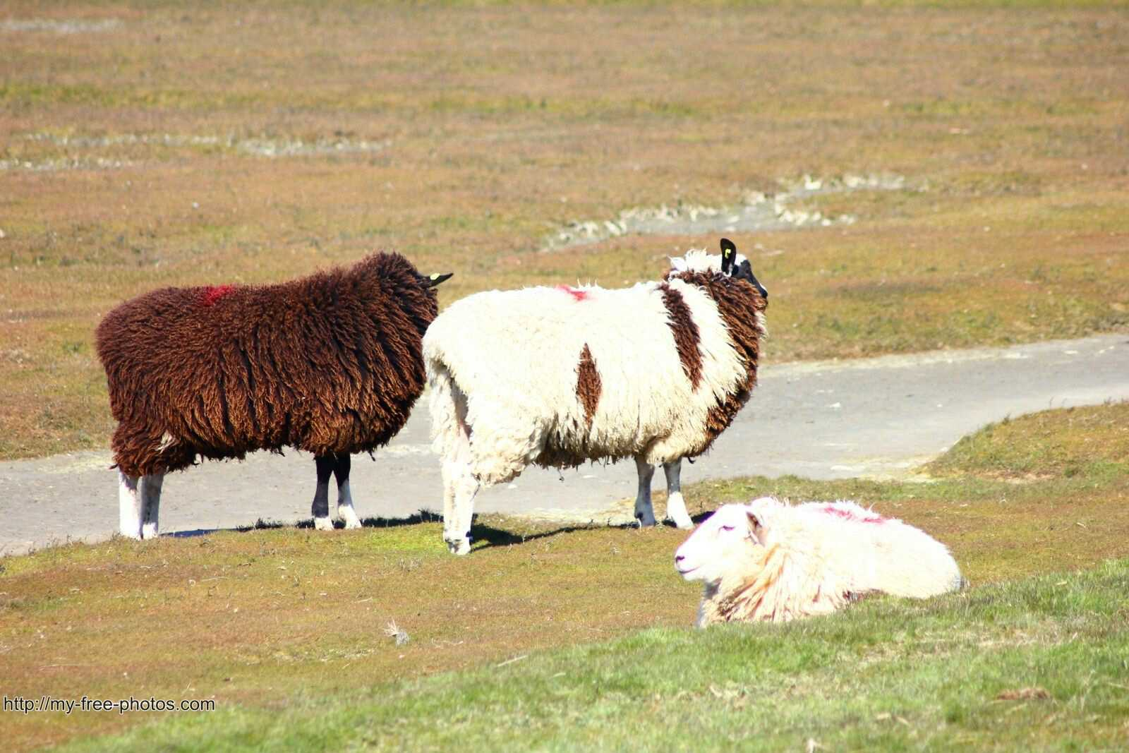 multicolor sheep