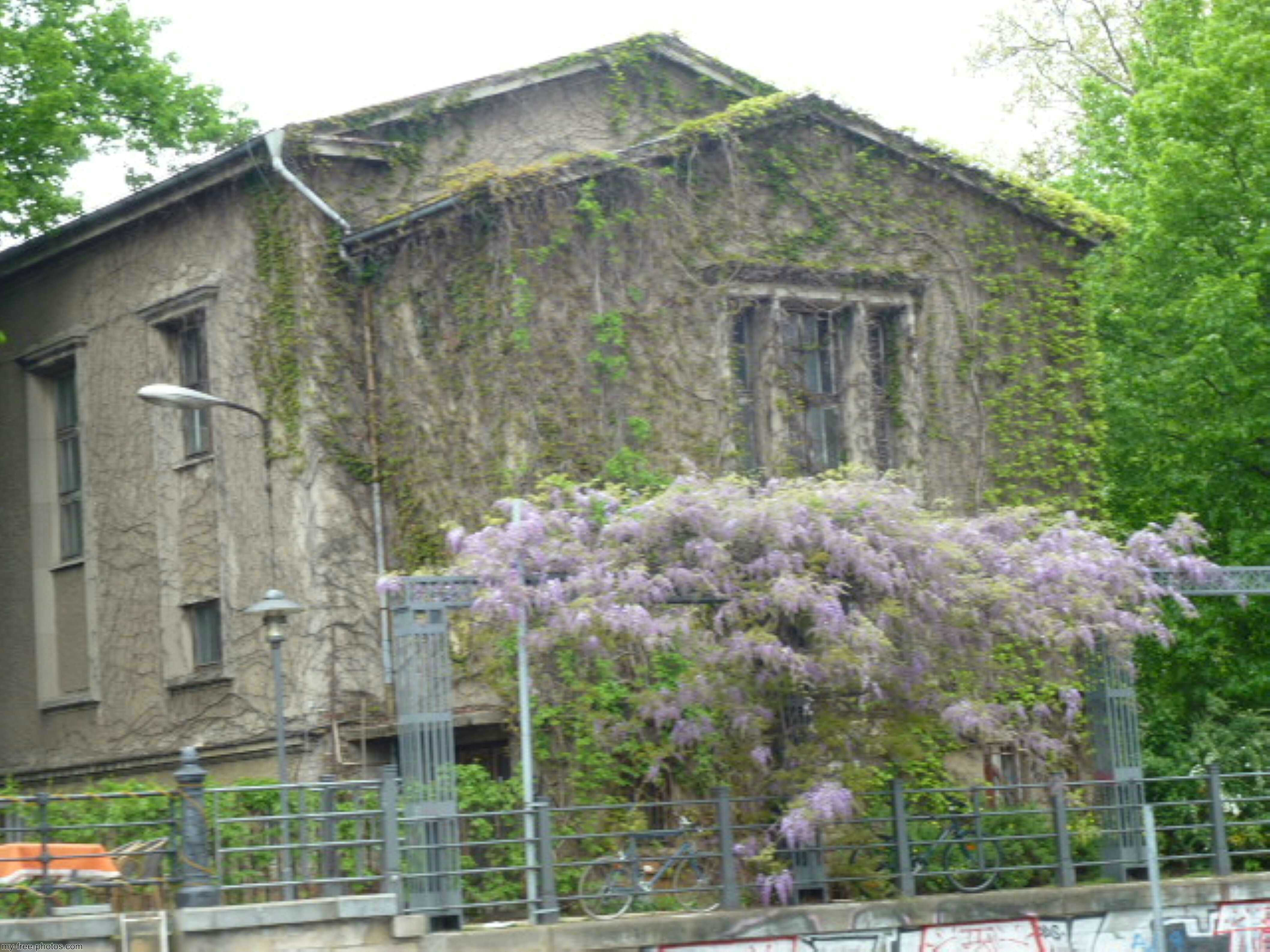 .Wisteria on a villa.