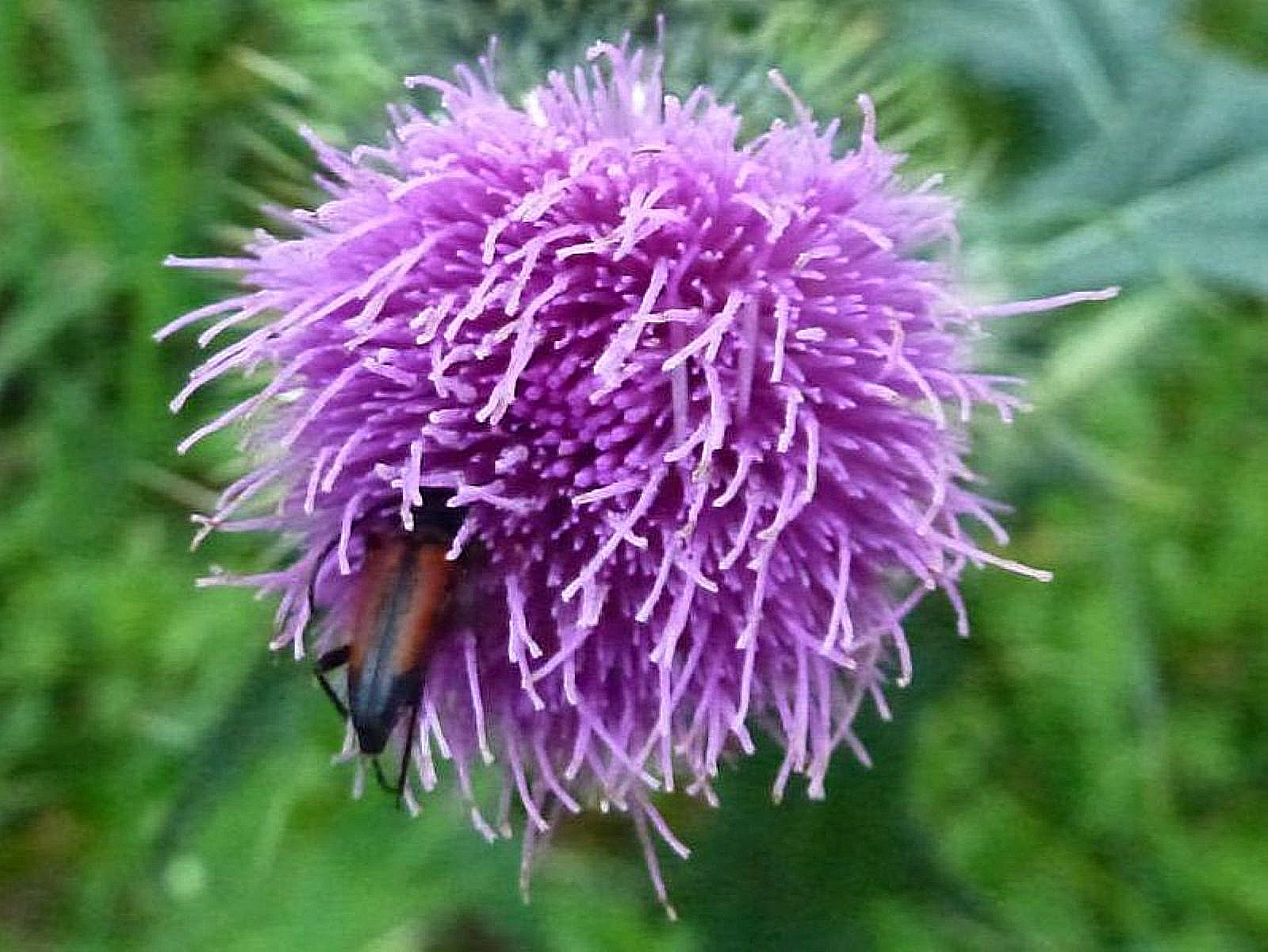 spear thistle with insect