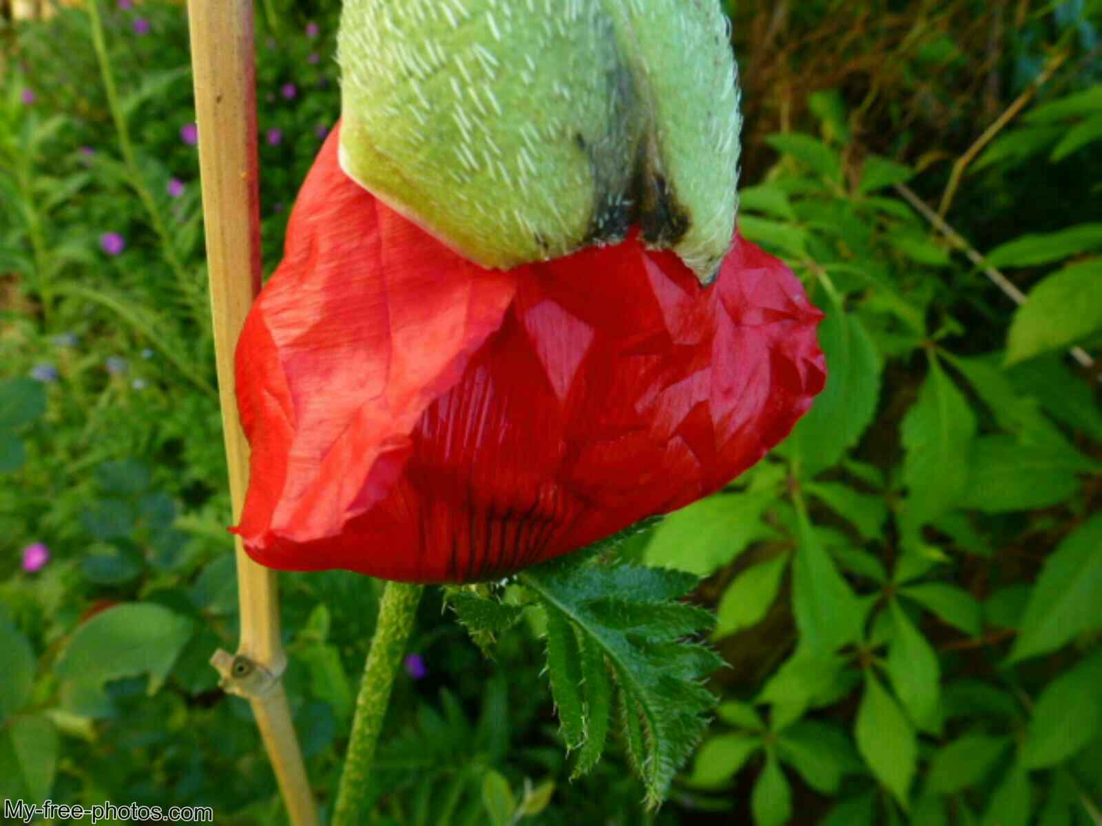 Turkish Poppy, red