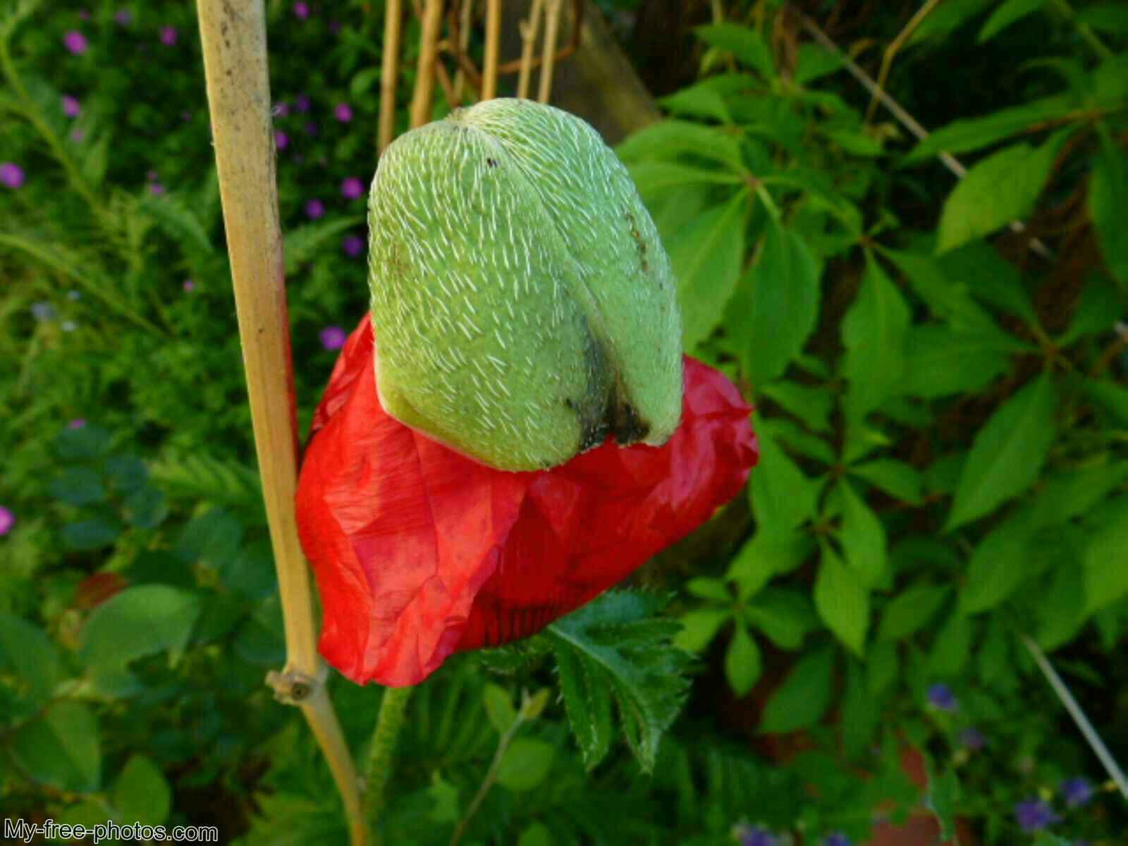 Turkish poppy