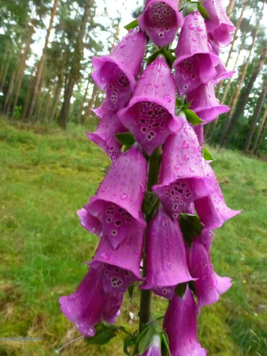 Digitalis purpurea.