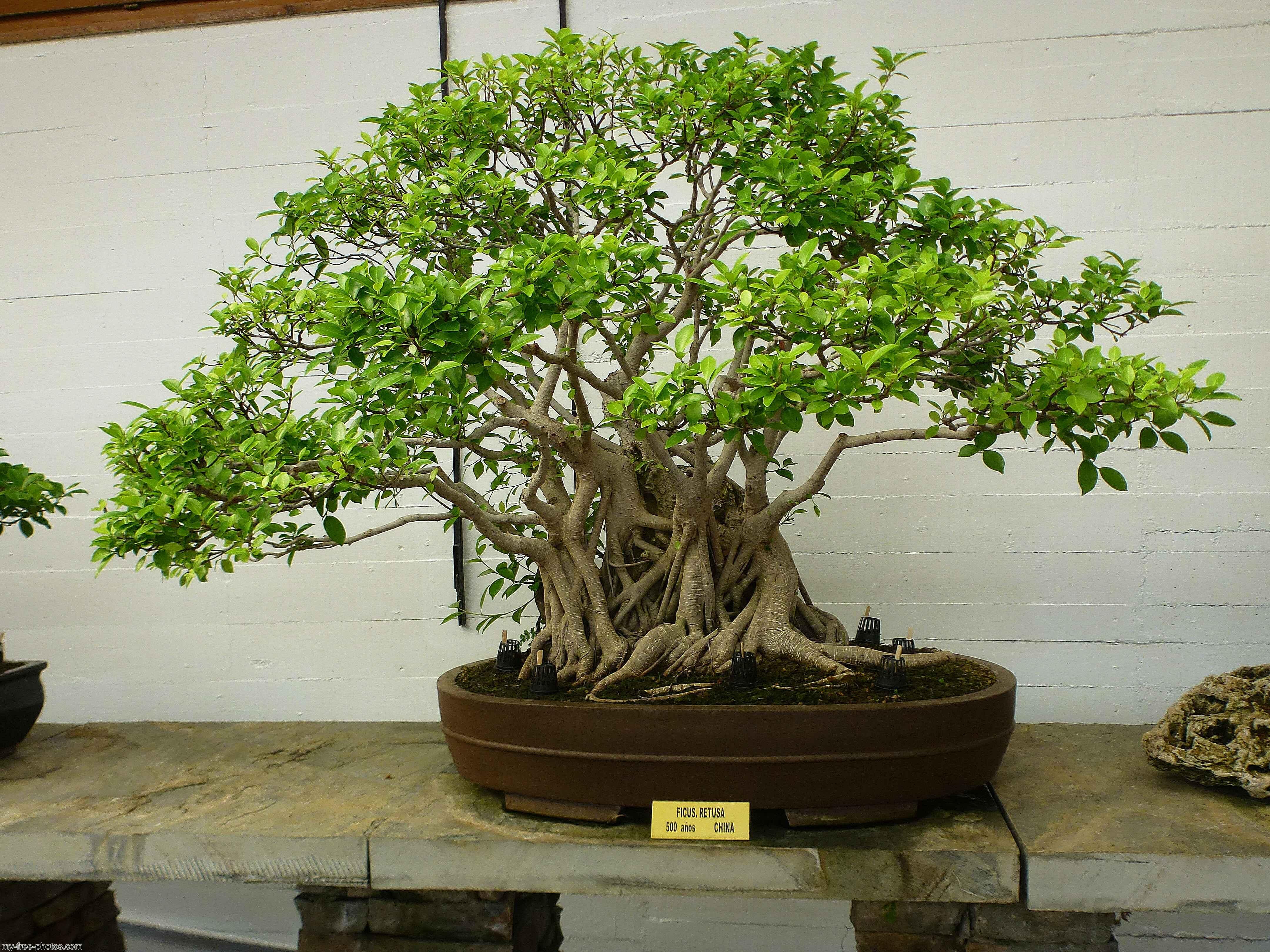 Bonsai Marebella Pic P1190206 Jpg