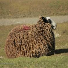 brown sheep