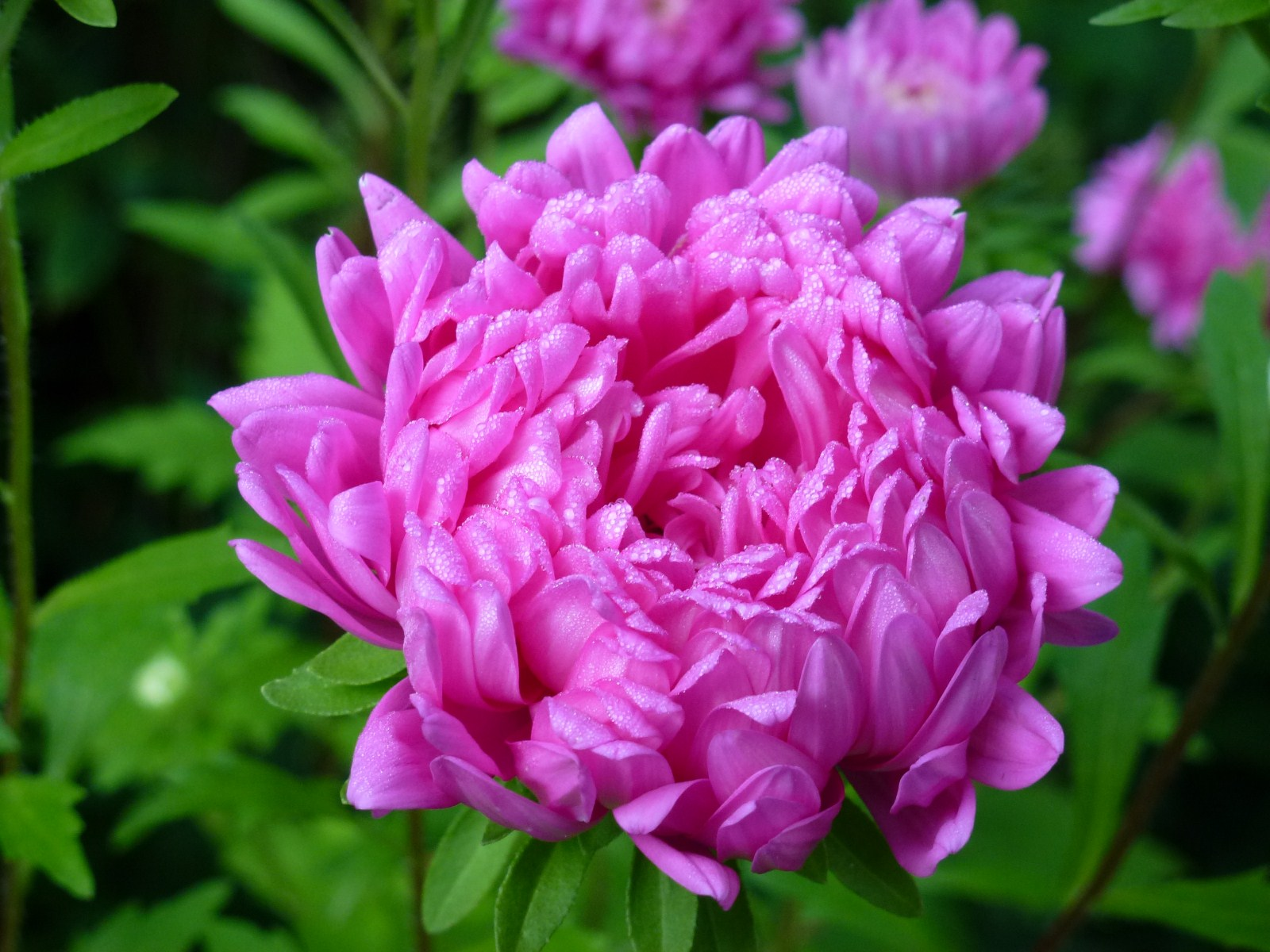 aster pink cl