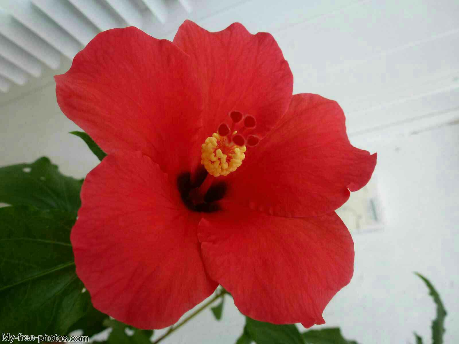 Hibiscus. Red